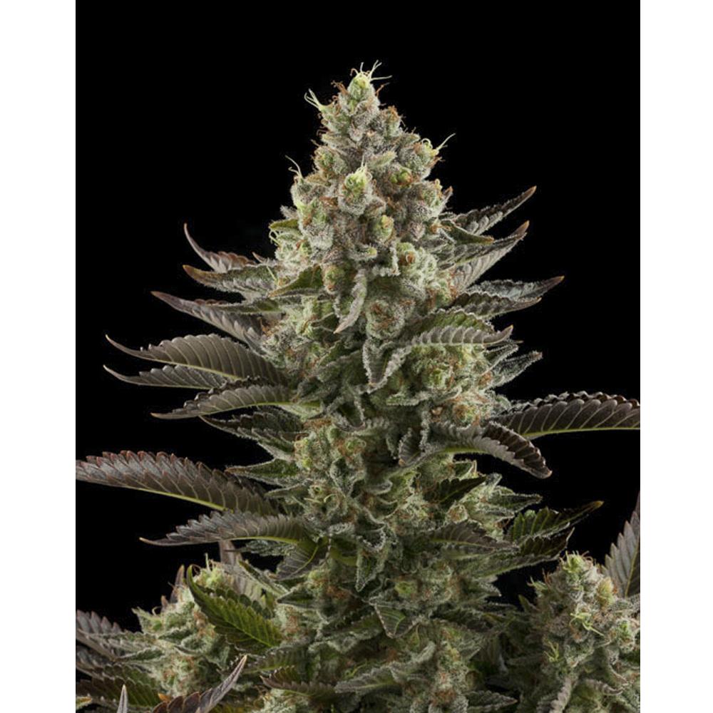 Семена конопли легальные марихуана индор
